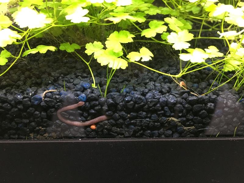 Ver de terre... Dans l'aquarium ? Img_4511