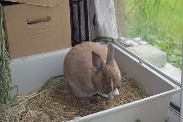 Basile, mâle, lapin, né le 01/06/14  - Page 2 Dsc_0073