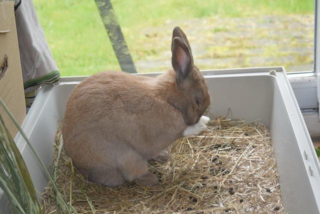 Basile, mâle, lapin, né le 01/06/14  - Page 2 Dsc_0074