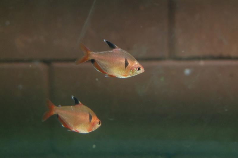Reproduction petits poissons Dscf6312