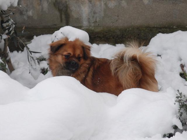 MUFFIN, épagneul Tibétain sorti d'élevage - notre Bébé Tinou Csc_0027