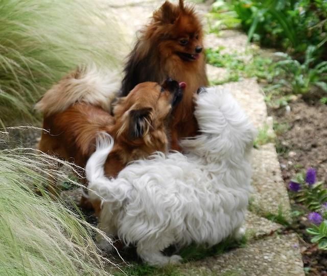 MUFFIN, épagneul Tibétain sorti d'élevage - notre Bébé Tinou Csc_0810