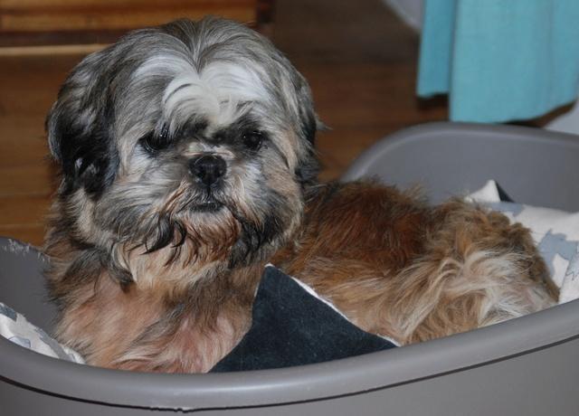 GAVOTTE - belle Shih Tzu de 6 ans - réformée d'élevage  Dsc_0032