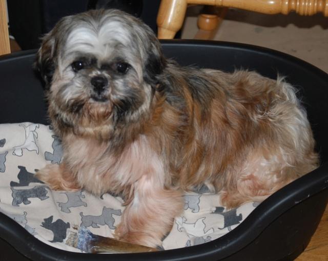 GAVOTTE - belle Shih Tzu de 6 ans - réformée d'élevage  Dsc_0033
