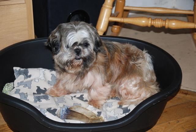 GAVOTTE - belle Shih Tzu de 6 ans - réformée d'élevage  Dsc_0037