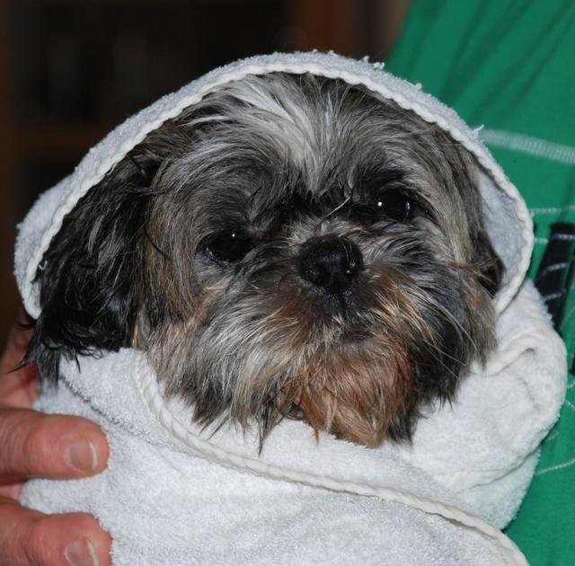 GAVOTTE - belle Shih Tzu de 6 ans - réformée d'élevage  Dsc_0038