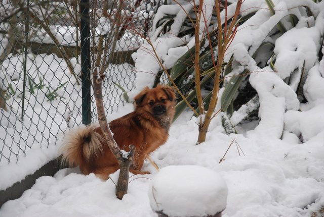 MUFFIN, épagneul Tibétain sorti d'élevage - notre Bébé Tinou Dsc_0047