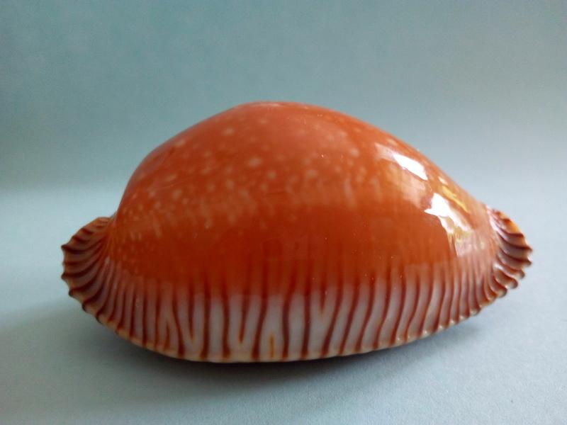 Perisserosa guttata surinensis - (Raybaudi, 1978) Img_2044