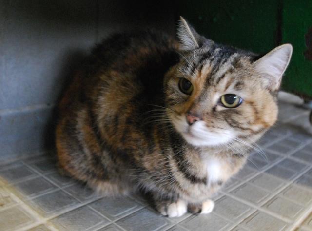 Ninou (ex Tigresse), chatte tigrée brun tricolore Dsc_9123