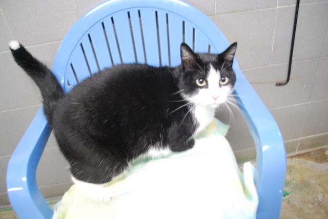 Félix, chat noir et blanc Dsc_9316