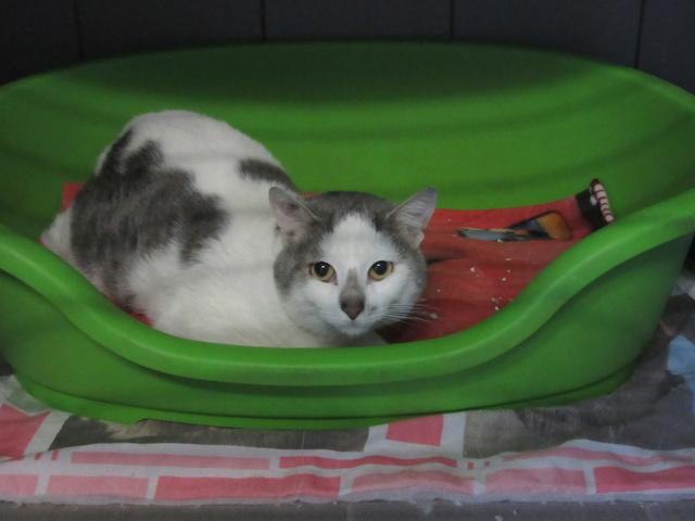 Granit, chat gris et blanc Img_4218