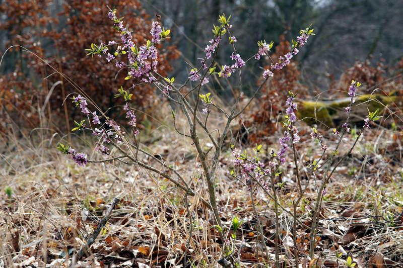 Erste Frühlingsboten im Garten und in Wald und Flur - Seite 63 800dsc11