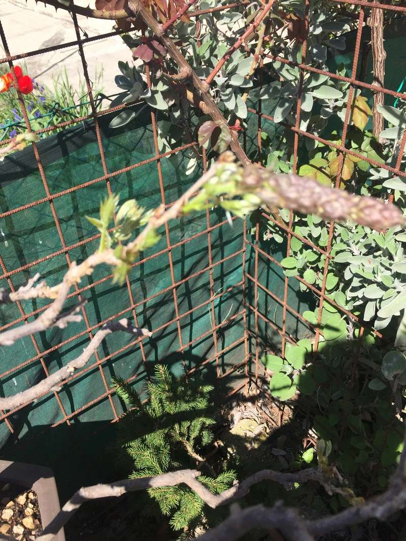 Glicine in fioritura.... Img_2818