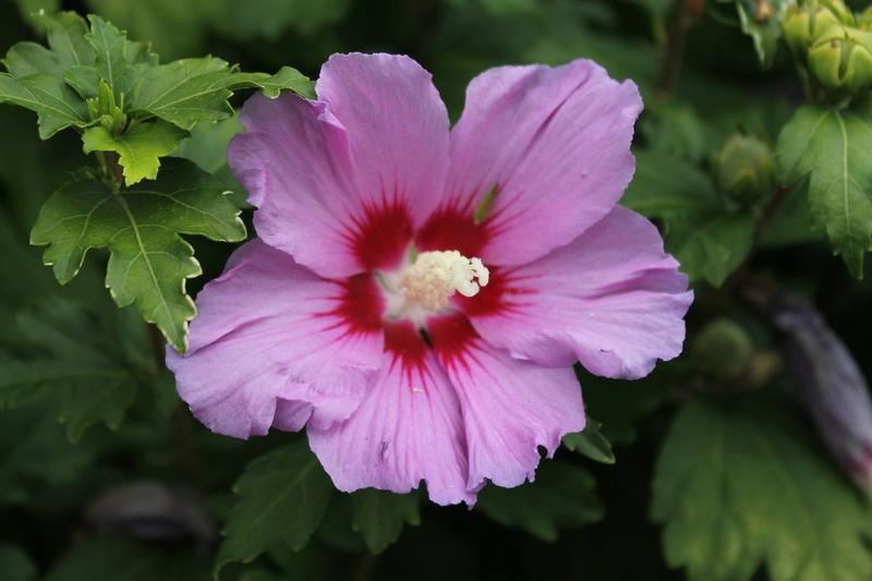 Hibiscus  rouge  Althea10