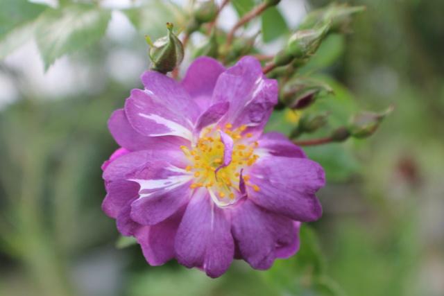Floraisons du mois de Mai - Page 24 Img_4741