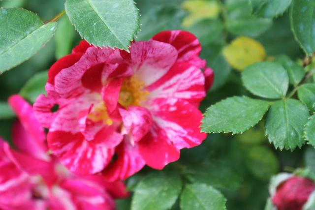 Floraisons du mois de Mai - Page 24 Img_4747