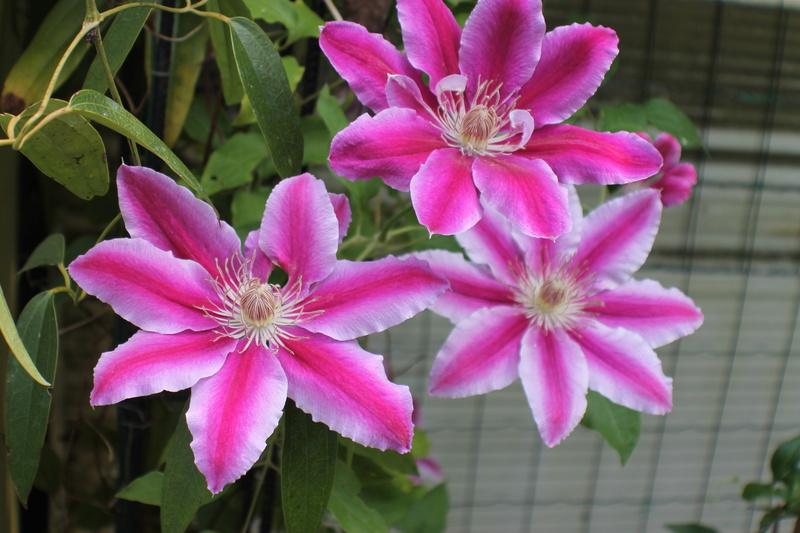 Floraisons du mois de Mai - Page 24 Img_4751