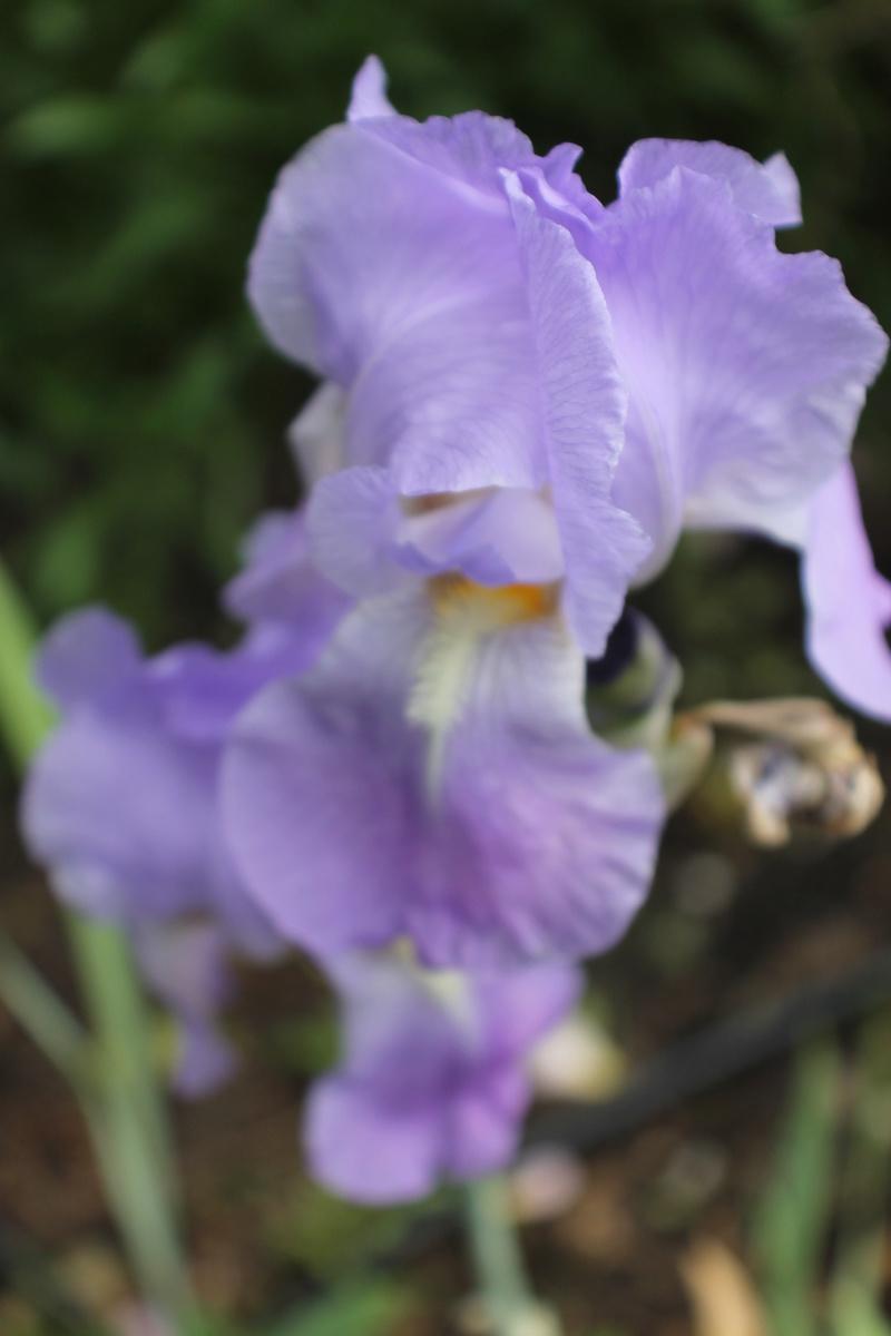 Floraisons du mois de Mai - Page 24 Img_4752