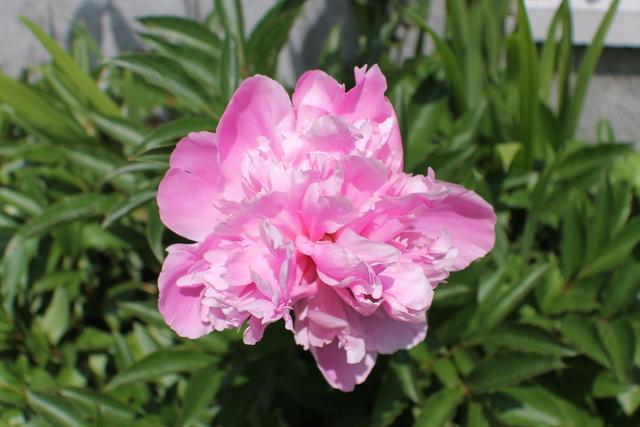 Floraisons du mois de Mai - Page 24 Img_4766