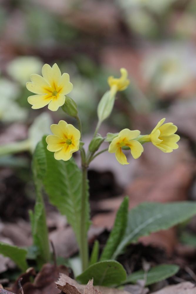 Hybride P. veris x P. vulgaris ou P. elatior ? Img_5110