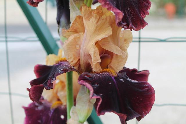 Iris 'Rustic Royalty' - Schreiner 2000 Rustic11
