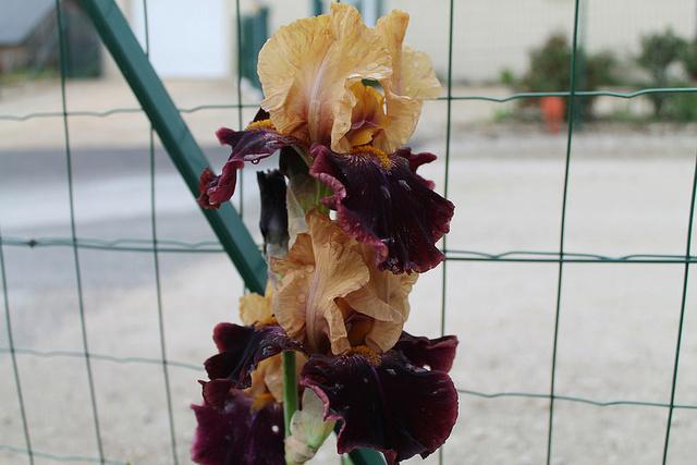 Iris 'Rustic Royalty' - Schreiner 2000 Rustic12