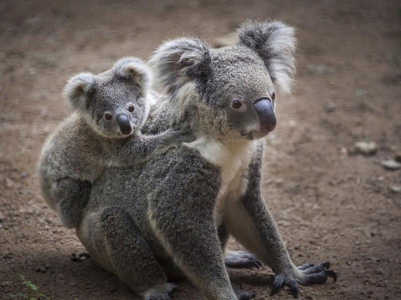 J'aime ou je n'aime pas - Page 2 Koala-10