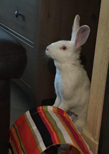 [ADOPTEE] Hope, lapine réhabilitée de laboratoire 11299810