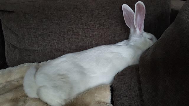 [ADOPTEE] Gaïa, lapine réhabilitée de laboratoire 12966110