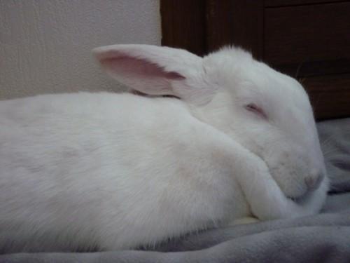 [ADOPTEE] Holly, lapine réhabilitée de laboratoire 15190510