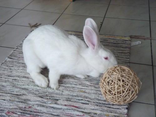 [ADOPTEE] Holly, lapine réhabilitée de laboratoire 15190511