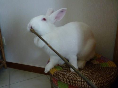 [ADOPTEE] Holly, lapine réhabilitée de laboratoire 15190512