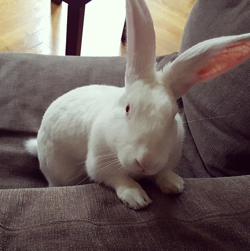 [ADOPTEE] Gaïa, lapine réhabilitée de laboratoire 15201610