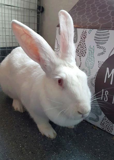 [ADOPTEE] Griotte, lapine réhabilitée de laboratoire 15204410