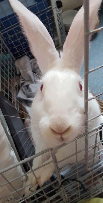 [ADOPTEE] Griotte, lapine réhabilitée de laboratoire 15204411