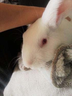 [ADOPTE] Iago, lapin réhabilité de laboratoire 15215710