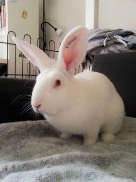[ADOPTE] Iago, lapin réhabilité de laboratoire 15215711
