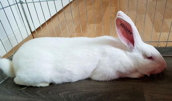 [ADOPTE] Krema, lapin réhabilité de laboratoire 15224813