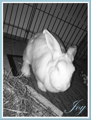 [ADOPTEE] Joy, lapine réhabilitée de laboratoire 15230910