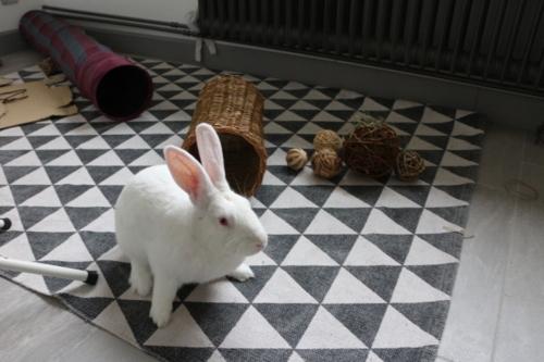 [A PARRAINER] Inoki, lapin réhabilité de laboratoire 15238010