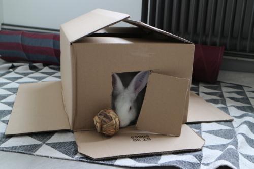 [A PARRAINER] Inoki, lapin réhabilité de laboratoire 15238011