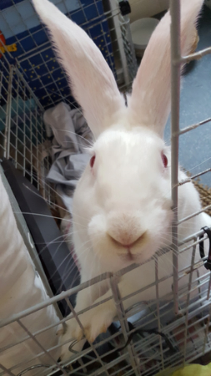 [ADOPTEE] Griotte, lapine réhabilitée de laboratoire 20180118
