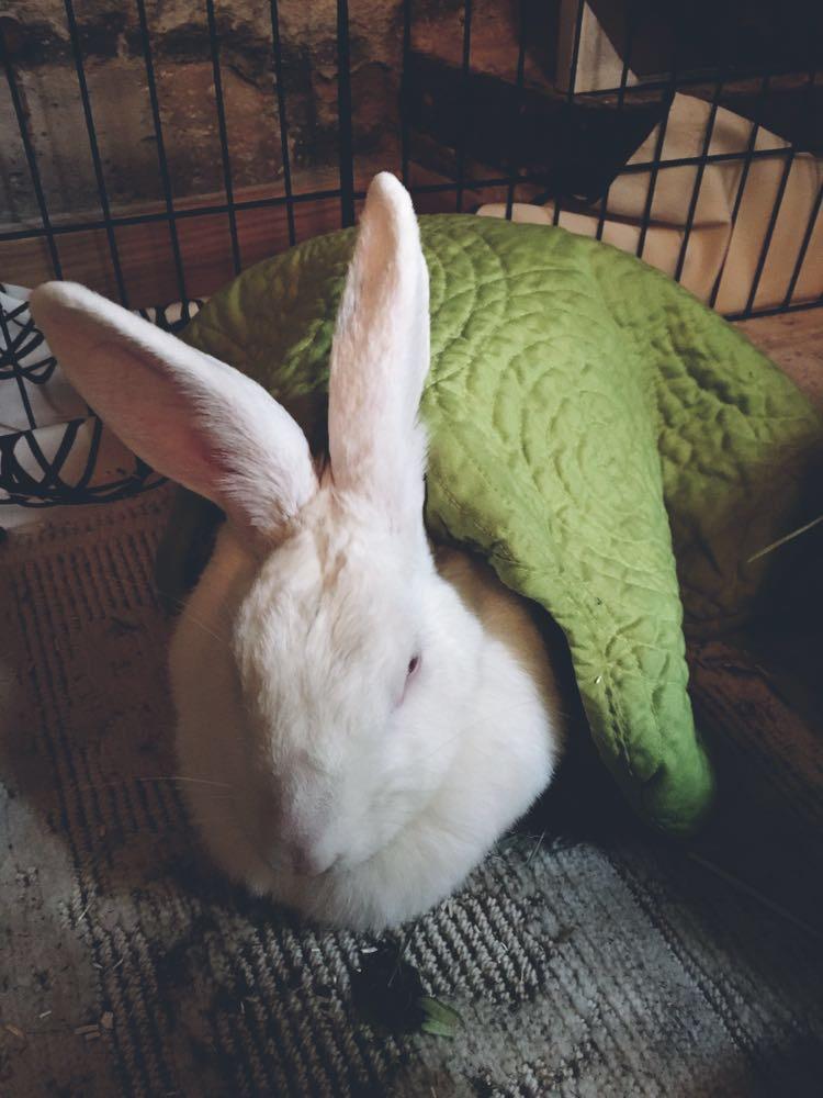 [ADOPTEE] Falka, lapine réhabilitée de laboratoire 20769810