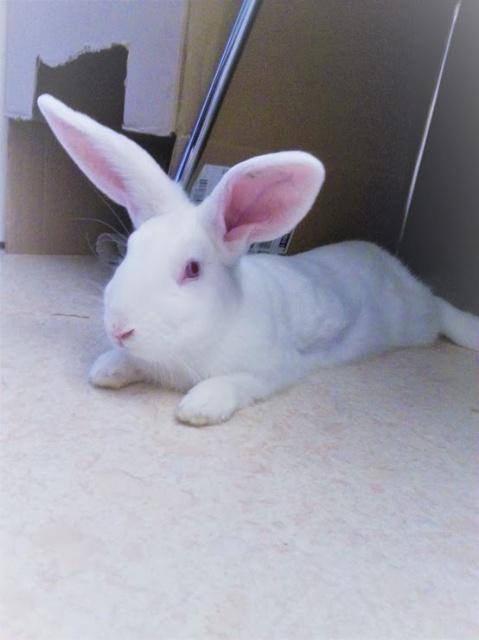 [ADOPTE] Iago, lapin réhabilité de laboratoire 23935911