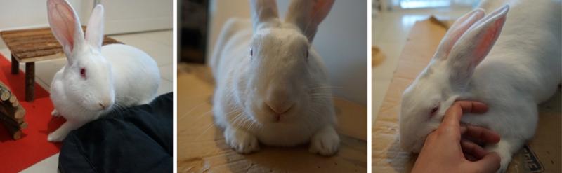 [ADOPTE] Dexter, lapin réhabilité de laboratoire 25106410