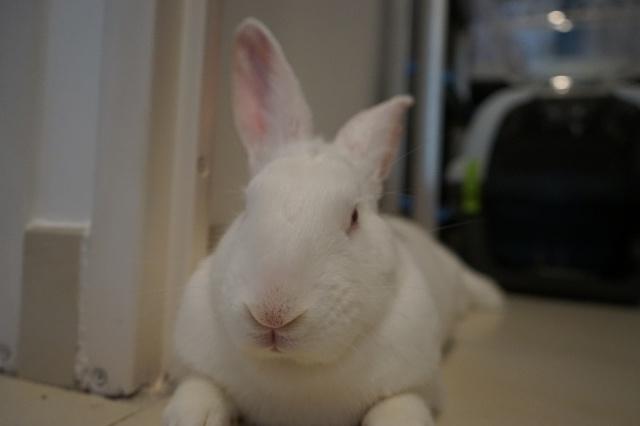[ADOPTE] Dexter, lapin réhabilité de laboratoire 27384110