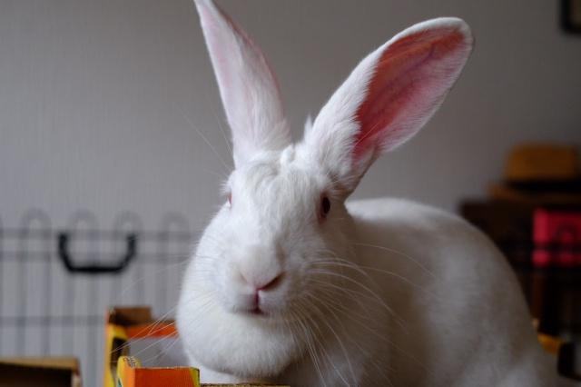[ADOPTEE] Gaïa, lapine réhabilitée de laboratoire 28453310