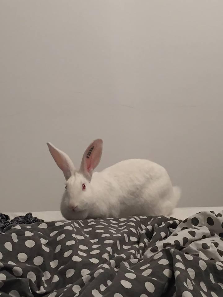 [ADOPTEE] Joy, lapine réhabilitée de laboratoire 28871910