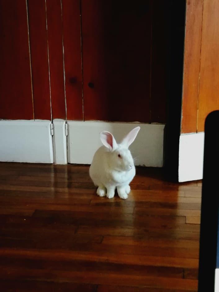 [ADOPTEE] Ebène, lapine réhabilitée de laboratoire 29138310
