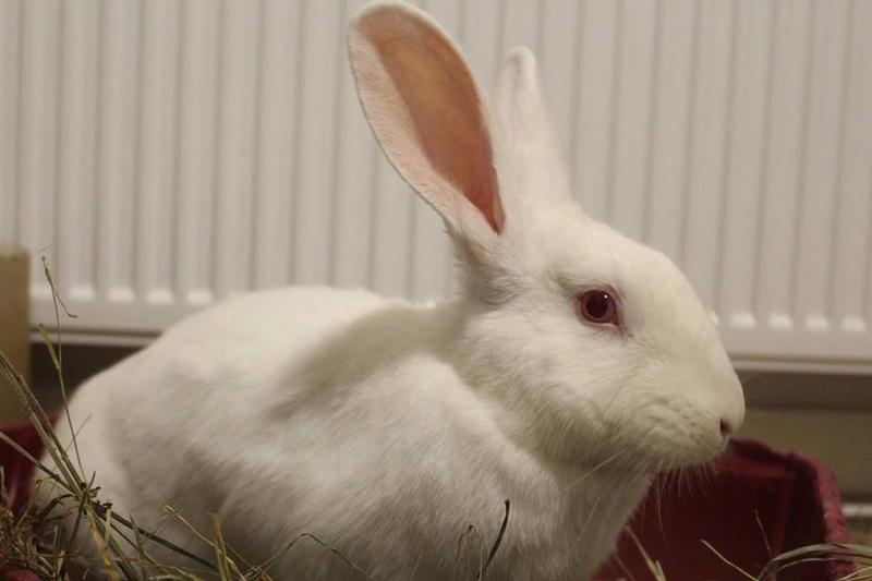 [ADOPTE] Dexter, lapin réhabilité de laboratoire 29542110